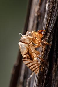 Cicada exuvium