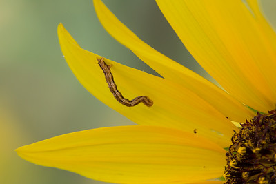 Inchworm on sunflower