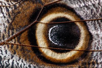 Owl butterfly wing (1:1 macro)