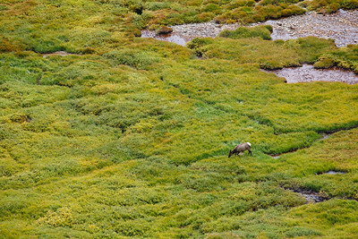 Grazing elk, Alpine Visitor Center