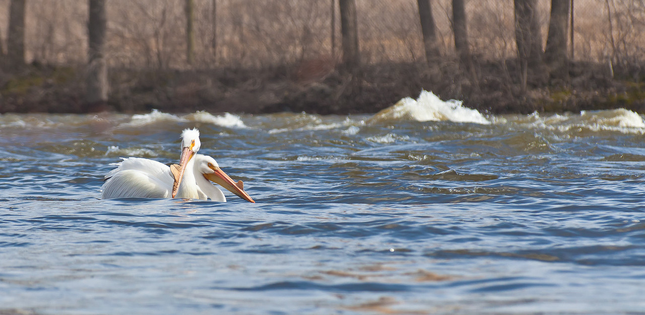 Easter Pelicans Floating