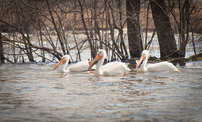 Easter Pelicans