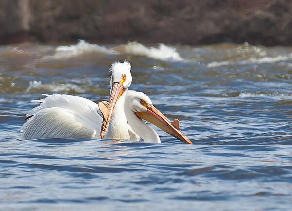Pelicans Close-Up
