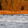 Swans near Clontarf Foreshore