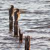 Shags on decaying jetty stumps near Clontarf Foreshore