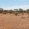 Mt Magnet Tourist Route drive - How to attract an Emu