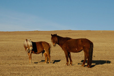 Mongolian Horses in Country side