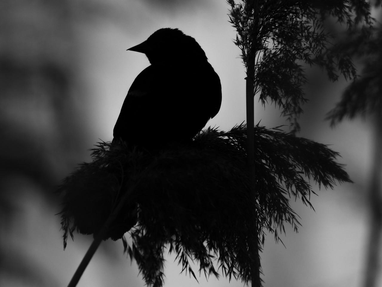 Red-winged Blackbird Silhouette