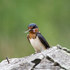 Barn Swallow Snack