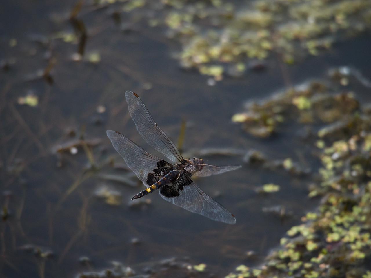 Black Saddlebags dragonfly flying