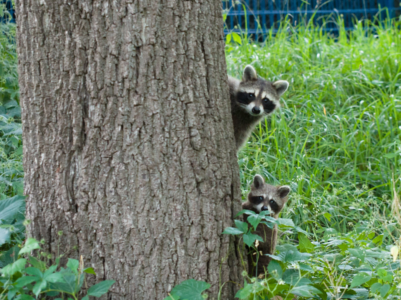Curious raccoon babs