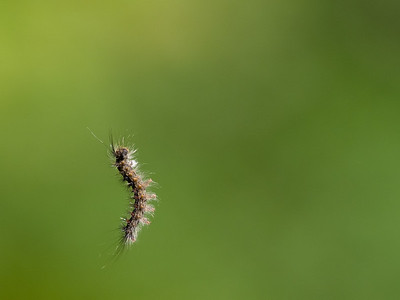 Gypsy Moth Caterpillar Hanging