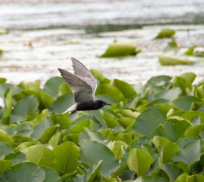 Black Tern Flying