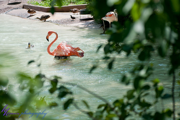 Sneaky look at a flamingo