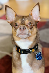 Our chihuahua, Oliver, in the living room