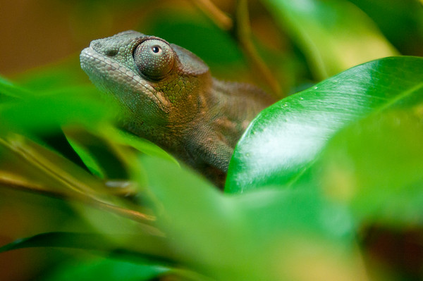 Our new baby panther chameleon, Yoshi, being sneaky