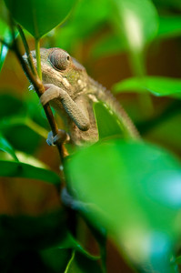 Our new baby panther chameleon, Yoshi