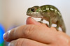 This is our new baby panther chameleon, Yoshi