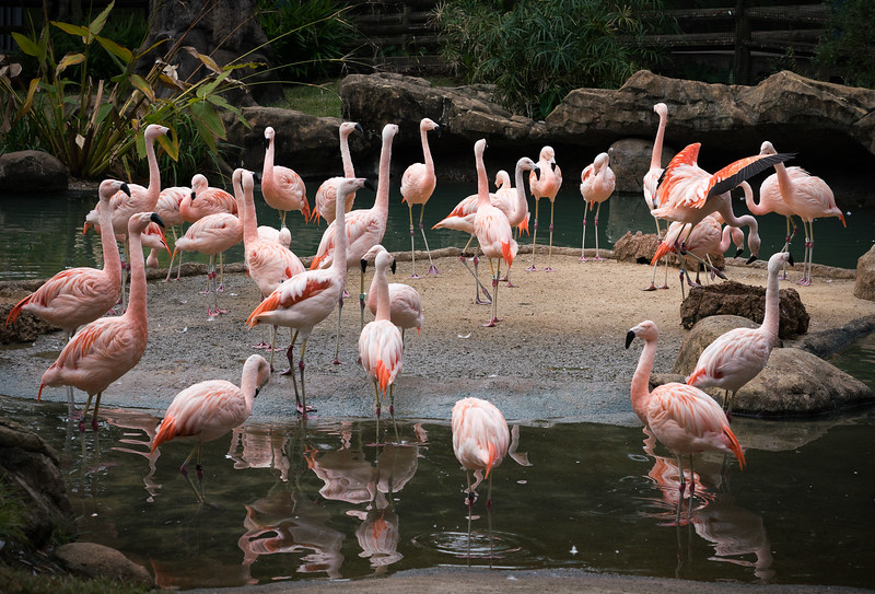 Why are flamingoe pink?
