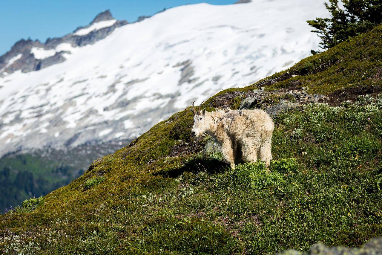 Mt. Goat