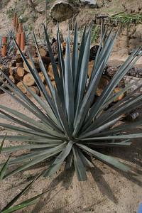 agaveazul1good