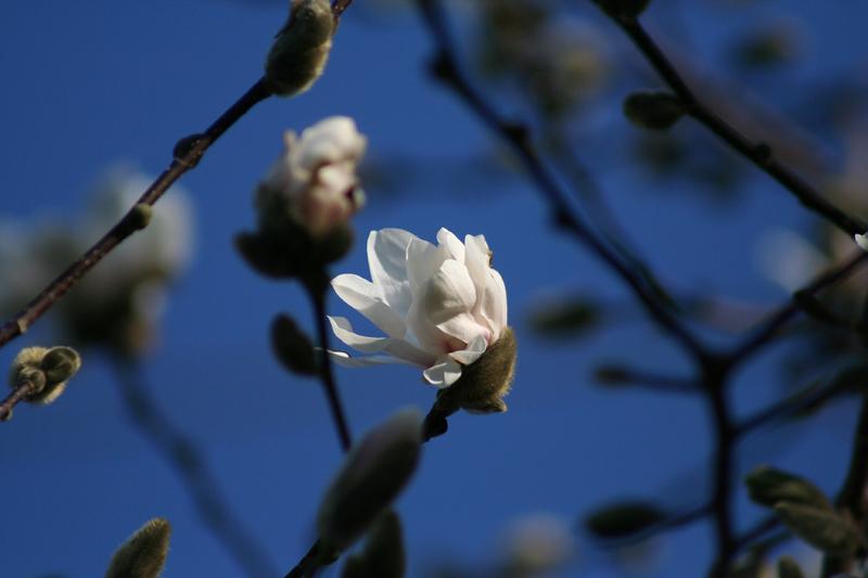 Our Magnolia