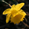 Daffodil...it survived the frost(s)