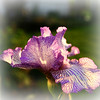 One of Our German-Bearded Irises <br /> 5/21/2007<br /> These flowers smell like root beer!