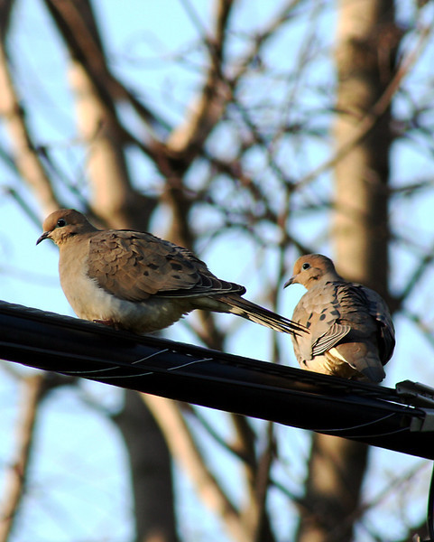 Mourning Doves in our backyard