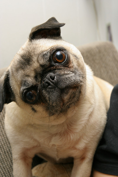 Attentive Puggy