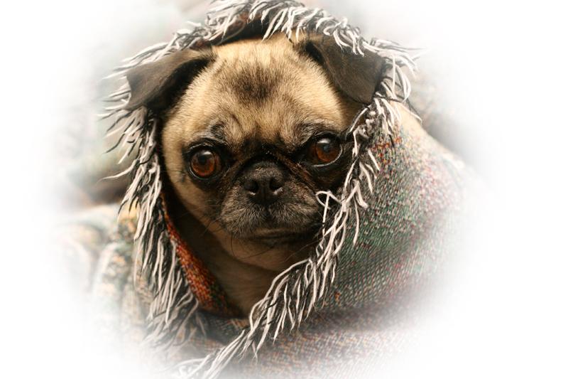 Puggy Portrait
