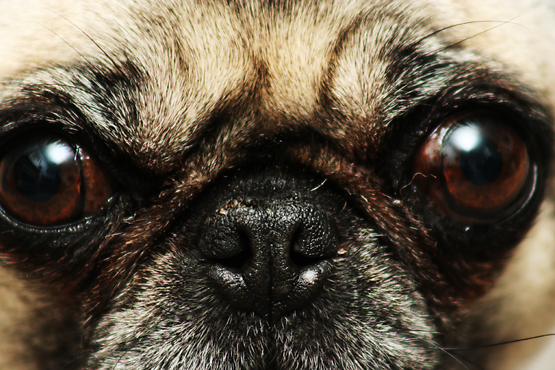 Puggy's Watching You