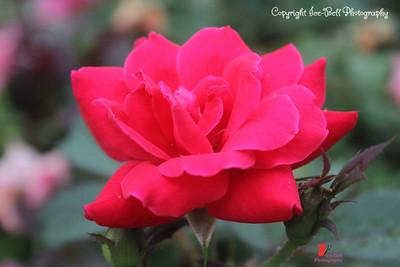 20160727-Rose-02wm