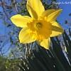 20160305-Daffodil-01