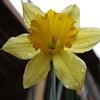20160313-Daffodil-03