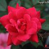20160727-Rose-01wm