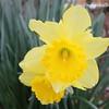 20160313-Daffodil-01