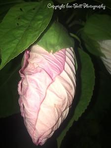 20170625-Hibiscus-04