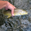 a young marble trout (trutta marmorata) is returned carefully to the water after being caught on a fly