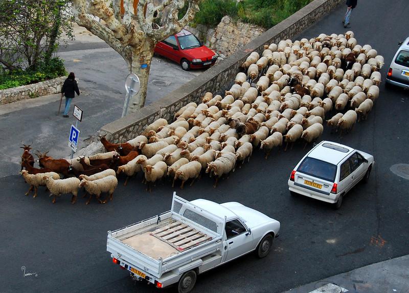 Sheep 219 ac sh100