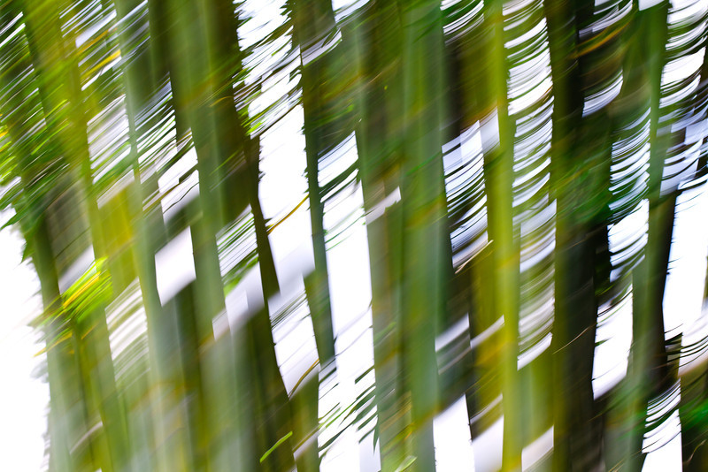 Light Wind and Bamboo at Mercer Arboretum