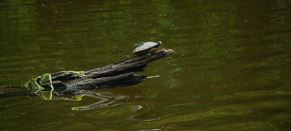 Gotcher back: A damsel fly lights on a turtle's back as the turtle suns on a Tittabawassee River log.