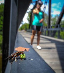 More wildlife--luckily this wasp already had a mouthful so it couldn't bother with us on the Sanford rail bridge.