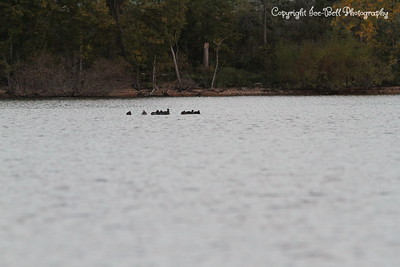 20131013-TableRockLakeWildlife-02