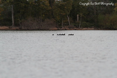 20131013-TableRockLakeWildlife-01