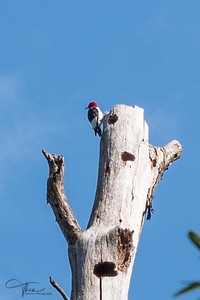 Memorial Park - Woodpecker