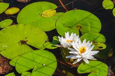Memorial Park - Hines Lake - Lily Pads