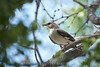 Texas Mockingbird