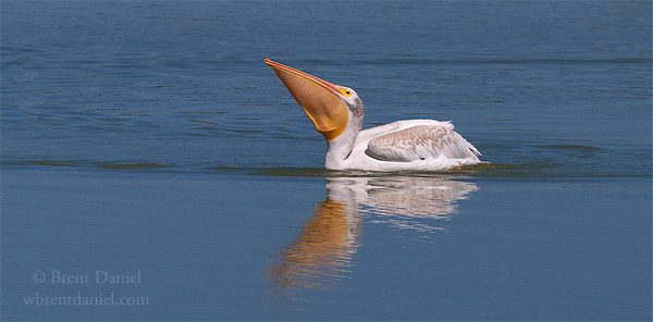 American White Pelican swallowing lunch, Lake McIntosh, Longmont, CO