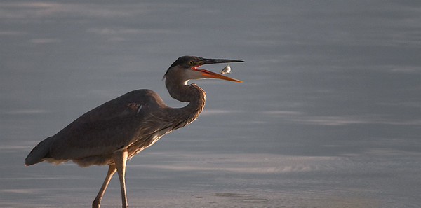 Great Blue Heron, Lake McIntosh